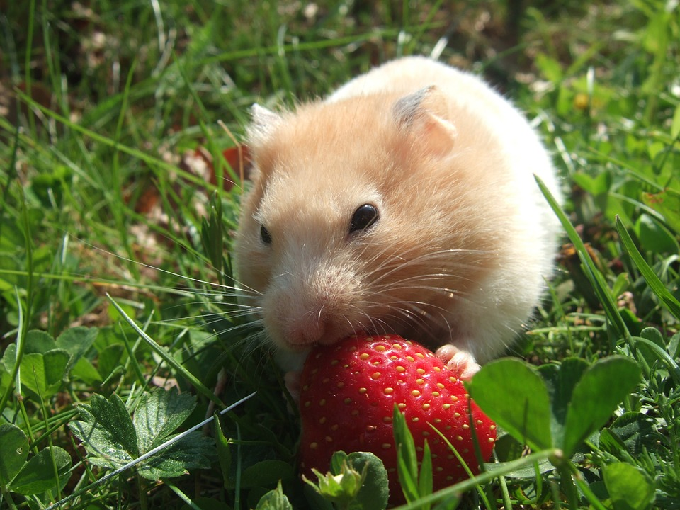 Teddy bear hamster eating strawberry