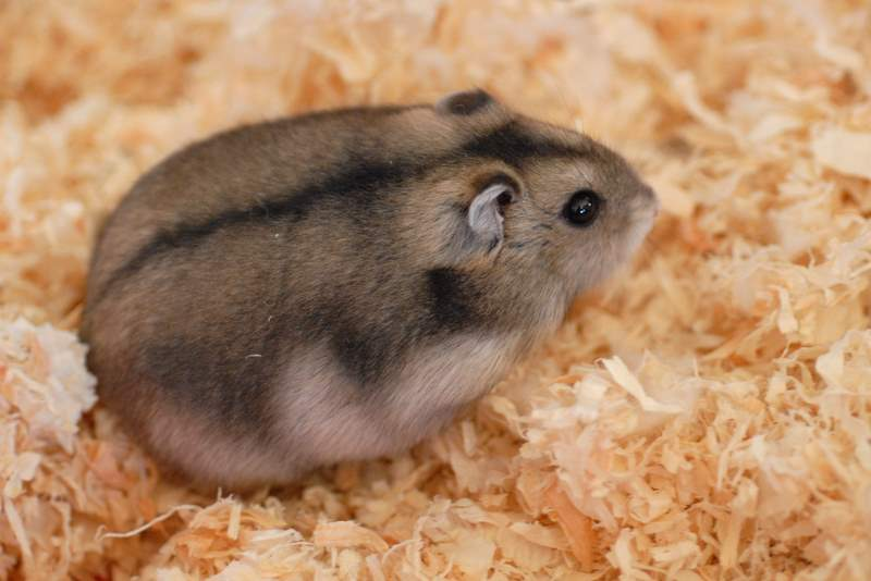 how-do-hamsters-have-sex
