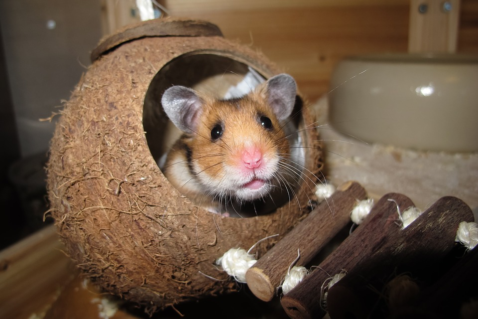 Give your Syrian Hamster An AMAZING Life [Facts + Guide]