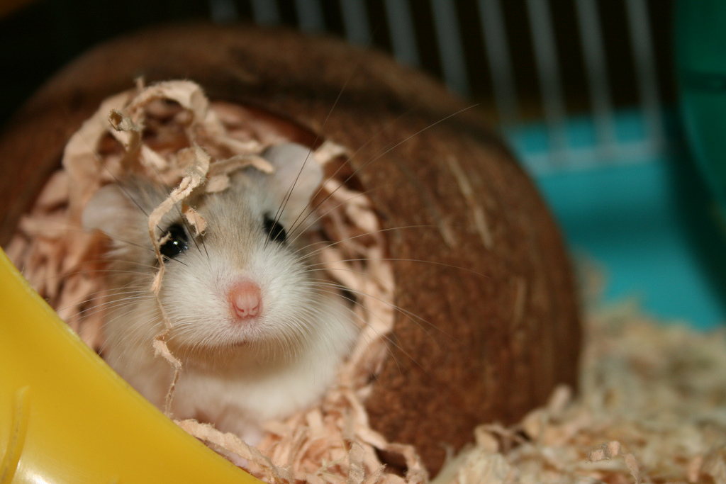 Hamster toys - a hamster enjoying a tunnel