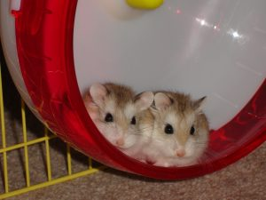 Robo Hamster: Complete guide for Amazing Care [Facts +