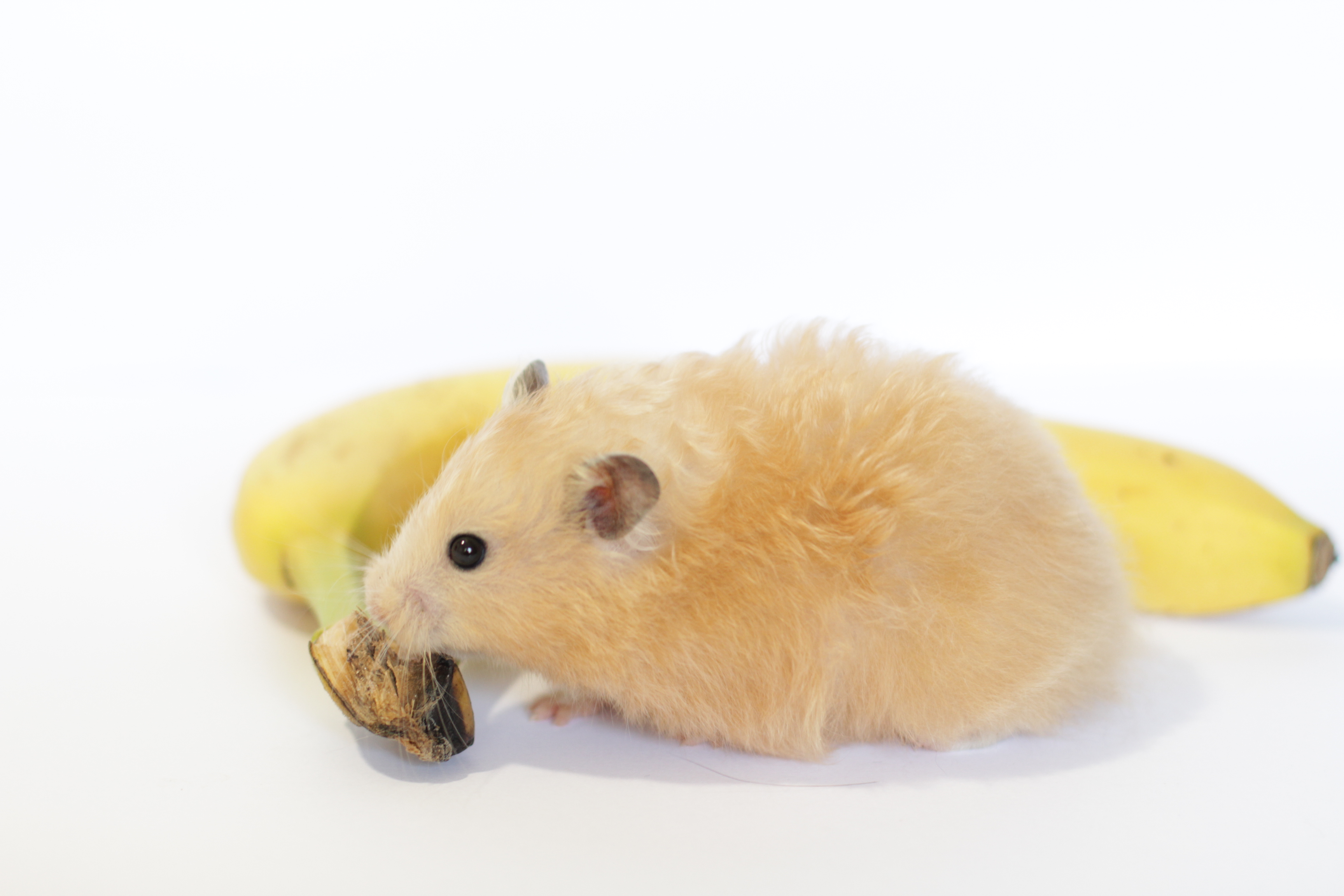 are bananas good for hamsters 22 foods hamsters can can t eat