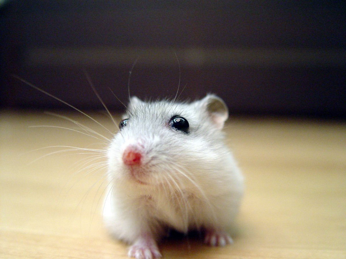 Syrian Hamster or a Dwarf Hamster: What Type is Right For Me?
