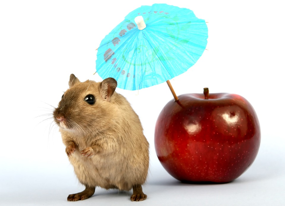 are apples good for hamsters 22 foods hamsters can can t eat