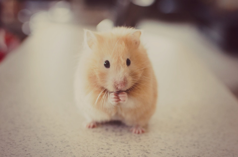 Long Haired Hamster Colors 43
