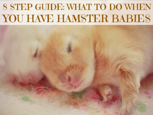Baby Hamsters: Easy 8-Step Guide to Hamster Babies