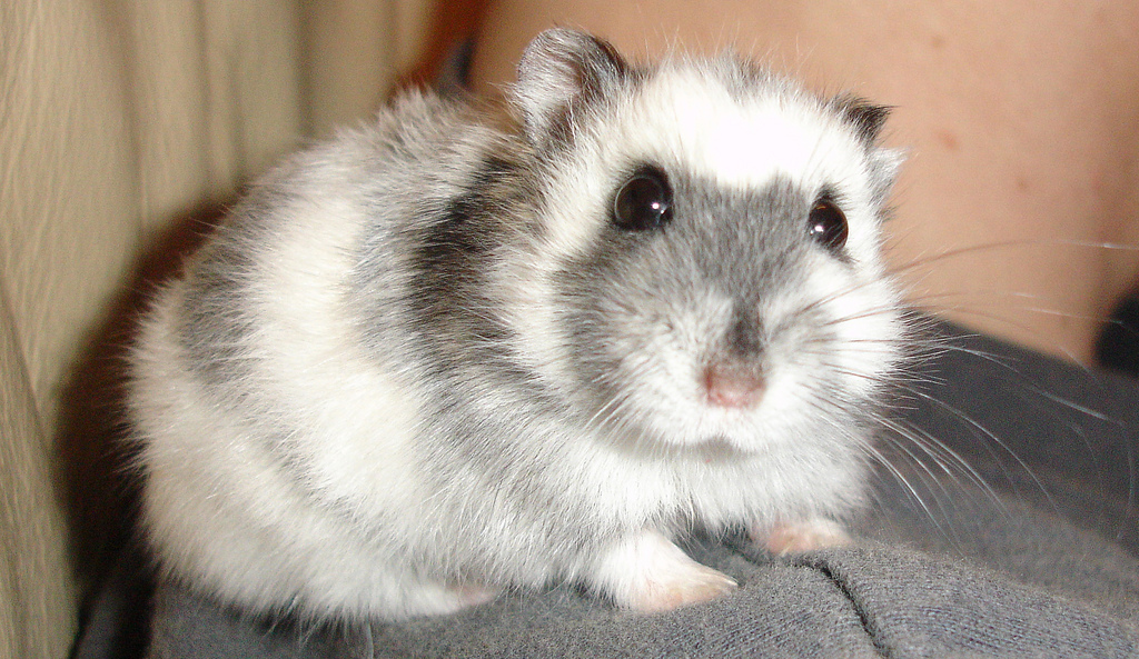 Everything about the Winter White Hamster (and more!)