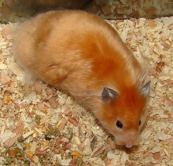 long haired syrian hamster